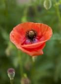 Flowers of poppy — Stock Photo