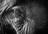 Elephant eye closeup — Stock Photo