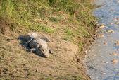Crocodile on river bank — Stock Photo