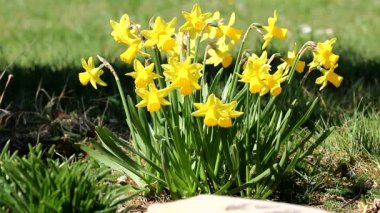 Jonquil, daffodil — Stock Video