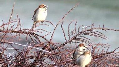 Birds,sparrow — Stock Video