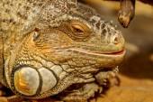 Fantastic close-up portrait of tropical iguana. Selective focus, — Stock Photo