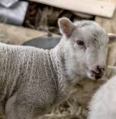 Curious beautiful not shorn sheep with lamb with hay in a pen fo — Stock Photo