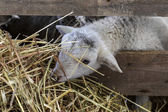 Beautiful curious not shorn sheep with lamb with hay in a pen fo — Stock Photo