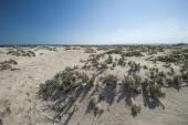 Desert bushes on coastal sand dune — Stock Photo