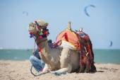 Camel on a beach with kite surfers — Stock Photo