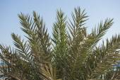 Closeup of date palm tree leaves — Stock Photo