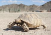 Large tortoise walking in the desert — Stock Photo