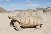Large tortoise walking in the desert — Stock Photo
