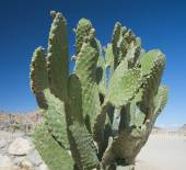 Cactus growing in remote desert — Stock Photo