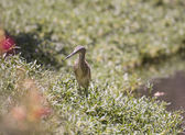 Squacco heron standing on a river bank — Stock Photo