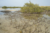 White mangrove trees in a tropical lagoon — Stock Photo