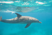 Bottlenose dolphin swimming in a lagoon — Stock Photo