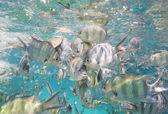 Shoal of sergeant major damselfish on coral reef — Stock Photo