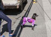 Fashion dog — Stock Photo