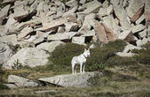 белая собака — Стоковое фото