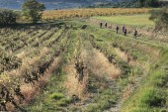 Hikers walking in wineyard — Stock Photo