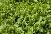 Lettuce (Lactuca sativa) — Stock Photo