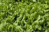 Alface (lactuca sativa) — Fotografia Stock