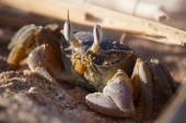 Red Sea ghost crab, Ocypode saratan — Stock Photo