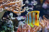 Copperband Butterflyfish (Chelmon rostratus), also commonly called the Beak Coralfish, is found in reefs in both the Pacific and Indian Oceans — Stock Photo
