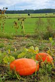 Pumpkin (Cucurbita maxima Duch.), big vegetables growing on the field, in the background the cows in the pasture — Stock Photo