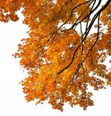 Autumn leaves on a branch Maple (Acer L.) and a white background — Stock Photo
