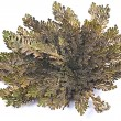 Rose of Jericho (Selaginella lepidophylla), other common names include Jericho rose, resurrection moss, dinosaur plant, stone flower, Resurrection plant, Mary's flower, Palestinian tumbleweed. — Stock Photo #66819751