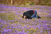 Woman photographer and crocuses in the spring on a mountain meadow in the Tatra Mountains, Poland — Stock Photo