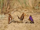 Lesser Purple Emperor (Apatura ilia), butterflies feeding on feces — Stock Photo
