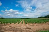 Plantation of asparagus — Stock Photo