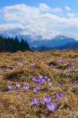 Crocuses in the spring on a mountain meadow in the Tatra Mountains, Poland — Stock Photo