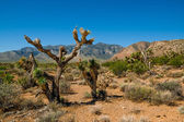 Joshua tree in death valley national park — Stock Photo