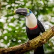 Beautiful blue green red white black toucan bird — Stock Photo #57504801