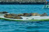 Наложение морских львов на доке Галапагосские острова — Стоковое фото
