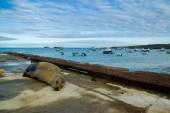 Sea lions laying on the dock galapagos islands — Stock Photo