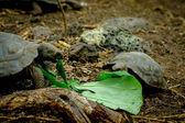 Turtles in san cristobal galapagos islands — Stock Photo