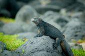 鬣蜥在圣克里斯托瓦加拉巴哥群岛 — 图库照片
