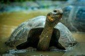 Giant turtle in san cristobal galapagos — Stock Photo