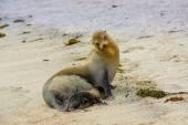 Sea lion in san cristobal galapagos islands — Stock Photo