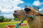 Closeup portrait of cute llama — Stock Photo
