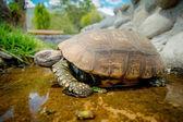 Cute green turtle walking on a pond in farm — Stock Photo