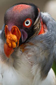 Closeup portrait of vulture in Ecuador — Stock Photo