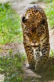 Portrait of beautiful jaguar walking — Stock Photo