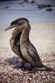Flightless cormorants mating in the Galpagos Islands — Stock Photo