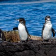 Group of penguins on a rock in the Galapagos Islands — Stock Photo #68335913