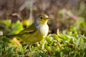 Yellow warbler bird in the Galapagos islands — Stock Photo