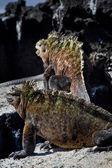 Marine iguana in the Galapagos Islands — Stock Photo
