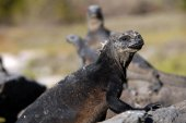 Marine iguana in the Galapagos Islands — Stock Photo