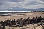Marine iguanas in Fernandina island, Galapagos Islands — Stock Photo